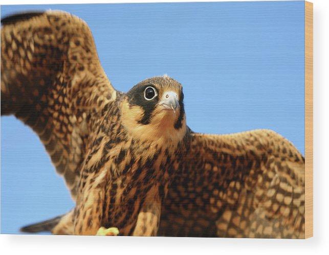 Villafafila Natural Park Wood Print featuring the photograph Eurasian Hobby Falco Subbuteo In by David Santiago Garcia