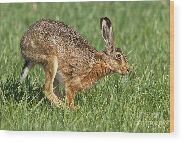 Biology Wood Print featuring the photograph European Hare by Bildagentur-online