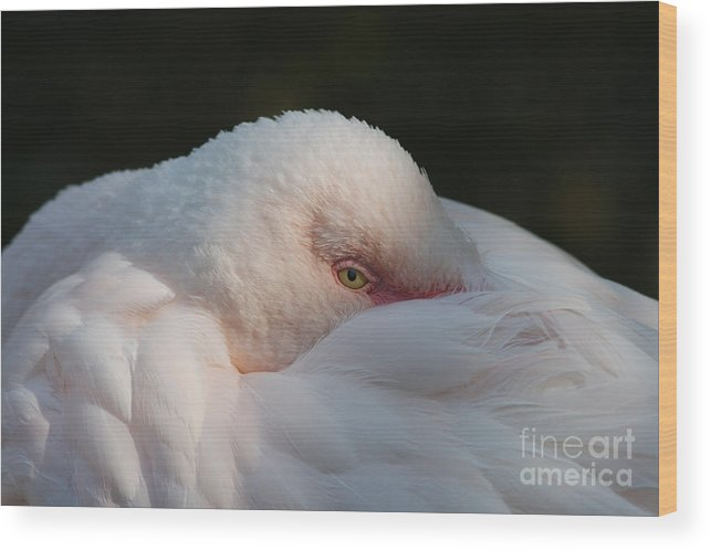 Flamingo Wood Print featuring the photograph Eye On You by Judy Whitton