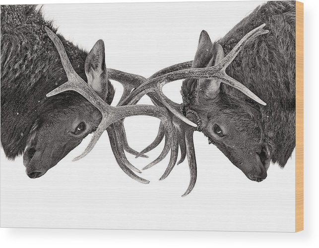 Nature Wood Print featuring the photograph Eye To Eye - Elk Fight by Jim Cumming