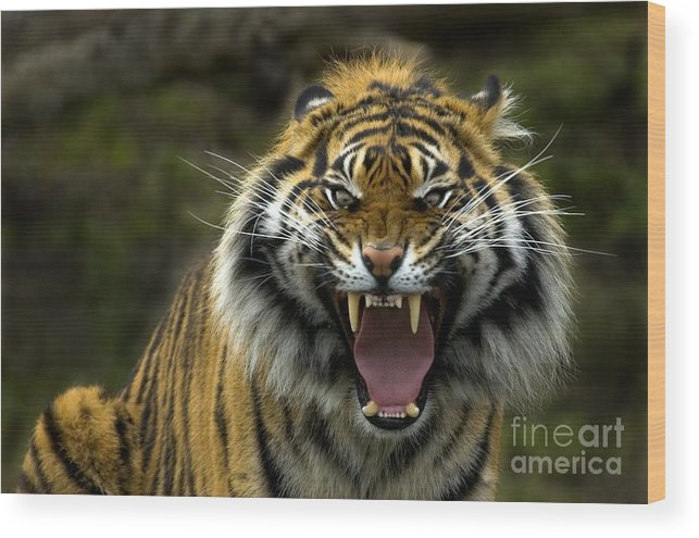 Tiger Wood Print featuring the photograph Eyes Of The Tiger by Mike Dawson