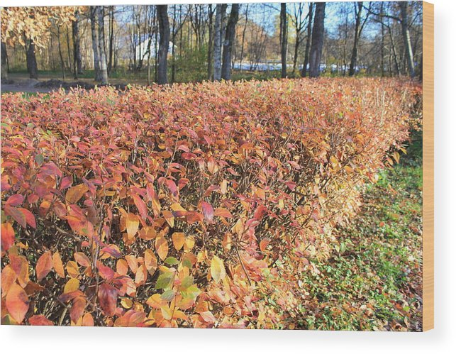 Sestroretsk Wood Print featuring the photograph Fall Hedge by Christine Rivers