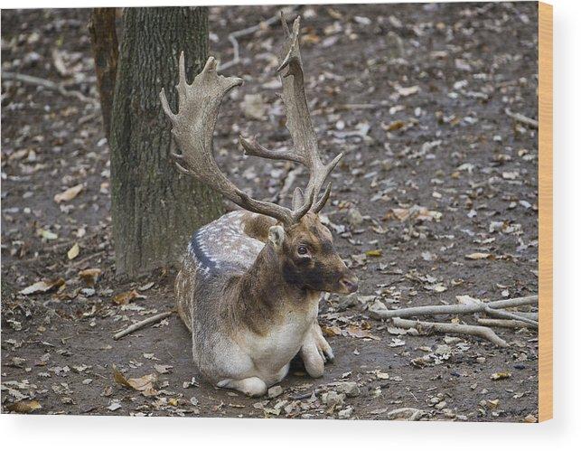 Fallow Deer Mating Season Wood Print