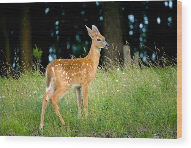 Fawn Wood Print featuring the photograph Fawn by Shane Holsclaw