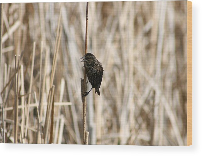 Red Winged Blackbird Wood Print featuring the photograph Female Red Winged Blackbird On Marsh Reeds by Robert Hamm