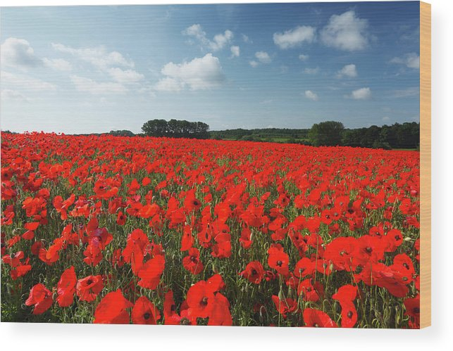 Scenics Wood Print featuring the photograph Field Of Common Poppies by James Osmond