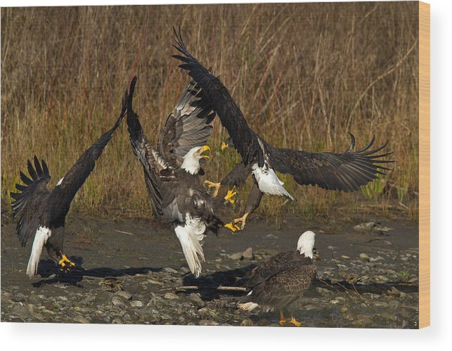 Bald Eagle Wood Print featuring the photograph Fight Time by Shari Sommerfeld