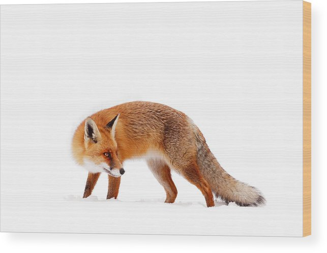 Fox Wood Print featuring the photograph Fire 'n Ice by Roeselien Raimond