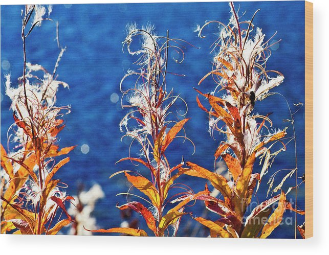 Fireweed Wood Print featuring the photograph Fireweed Flower by Heiko Koehrer-Wagner