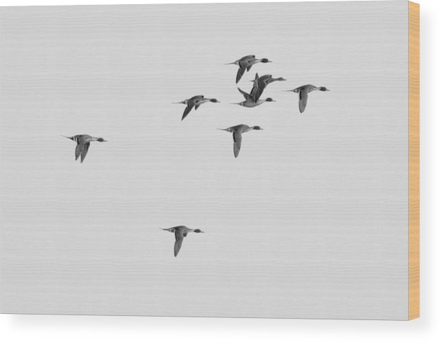 Pintail Wood Print featuring the photograph Flock Of Pintails by Ward McGinnis