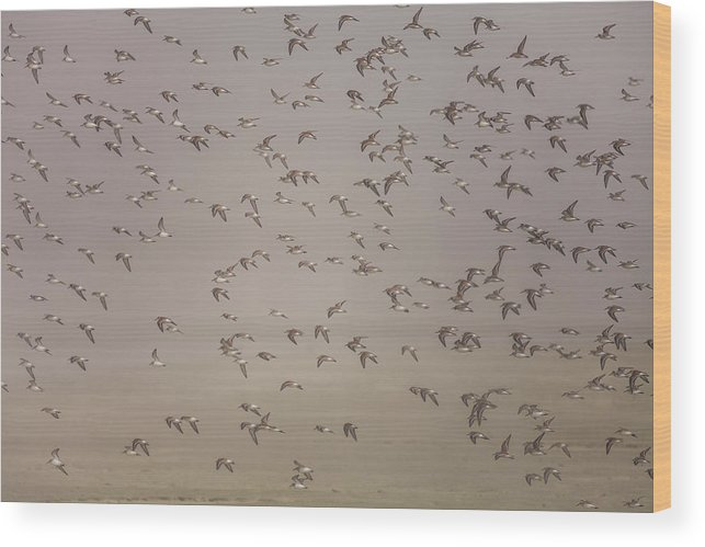 Tofino Wood Print featuring the photograph Flock Of Plovers by Christopher Kimmel
