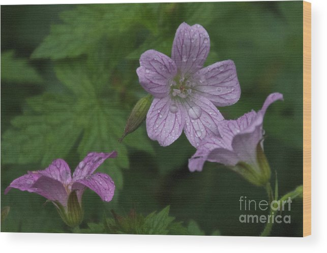 Purple Wood Print featuring the photograph Flower Bath by William Norton