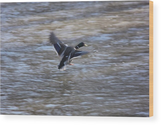 Nature Wood Print featuring the photograph Fly Away Duck by Brett Beaver