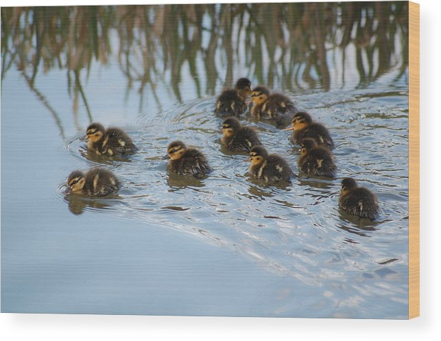 Ducklings Wood Print featuring the photograph Follow The Leader by Harvey Scothon