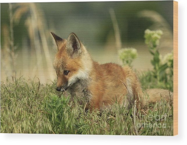 Fox Wood Print featuring the photograph Fox Baby by Roxie Crouch