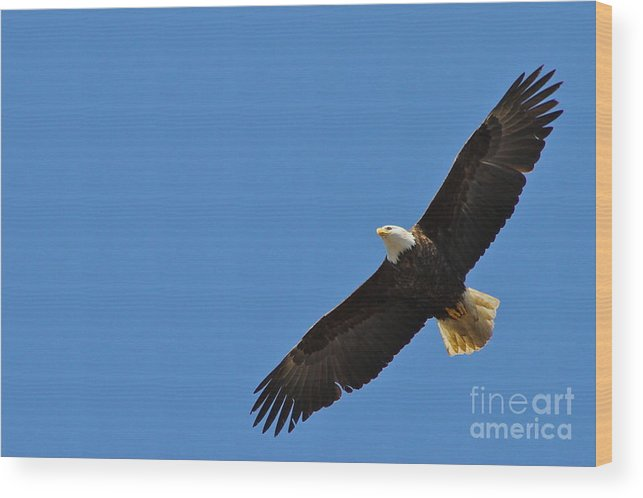 Eagle Wood Print featuring the photograph Freedom by Rick Monyahan