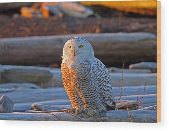 Snowy Owl Wood Print featuring the photograph Frosty Morning by Shari Sommerfeld
