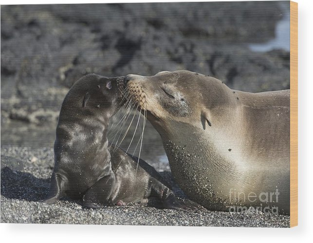 Galapagos Islands Wood Print featuring the photograph Galapagos Fur Seals by Dr P. Marazzi