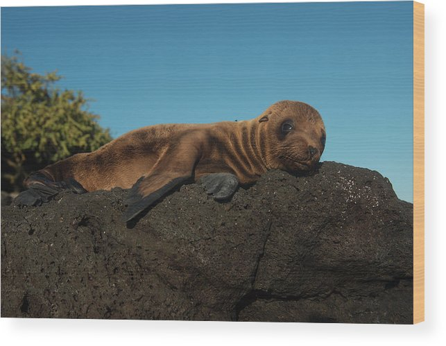 Danita Delimont Wood Print featuring the photograph Galapagos Sea Lion Pup (zalophus by Pete Oxford
