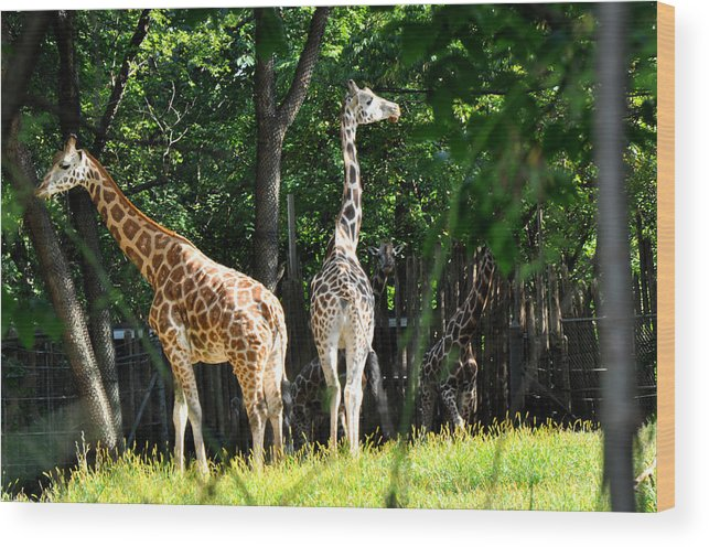 Animals Wood Print featuring the photograph Giraffes by Diane Lent