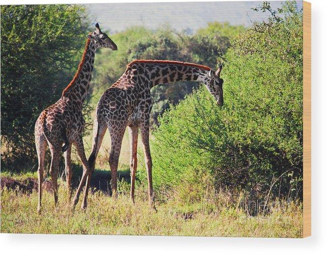 Giraffe Wood Print featuring the photograph Giraffes On Savanna Eating. Safari In Serengeti by Michal Bednarek