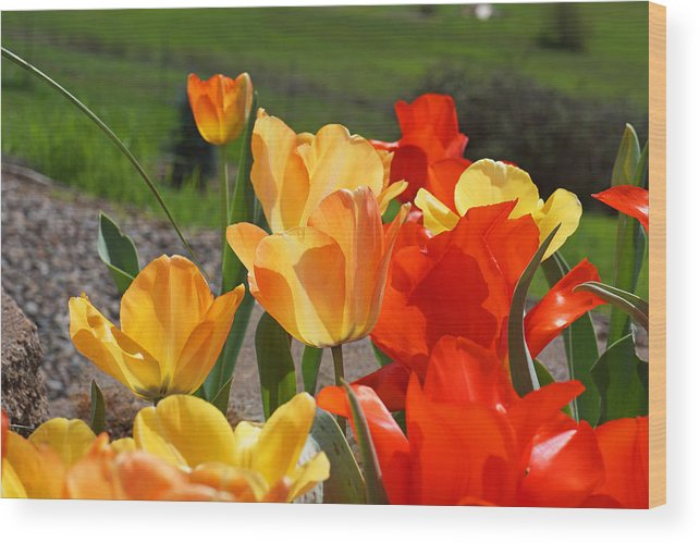 Red Wood Print featuring the photograph Glowing Sunlit Tulips Art Prints Red Yellow Orange by Baslee Troutman