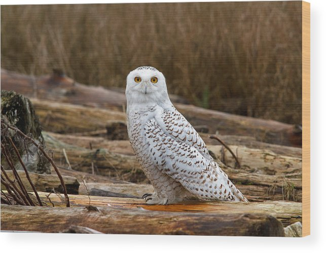 Snowy Owl Wood Print featuring the photograph Golden Eye by Shari Sommerfeld
