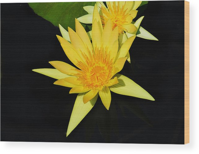 Lily Wood Print featuring the photograph Golden Lily by Roger Becker