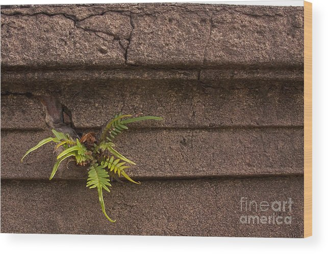 Plant Wood Print featuring the photograph Granite Fern  #5708 by J L Woody Wooden