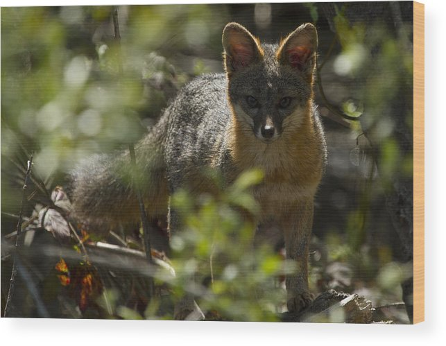 Gray Fox Wood Print featuring the photograph Gray Fox In The Woods by Phil Johnston