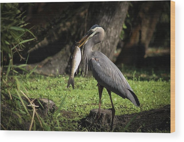 Great Blue Heron Wood Print featuring the photograph Great Catch by Cortney Leigh