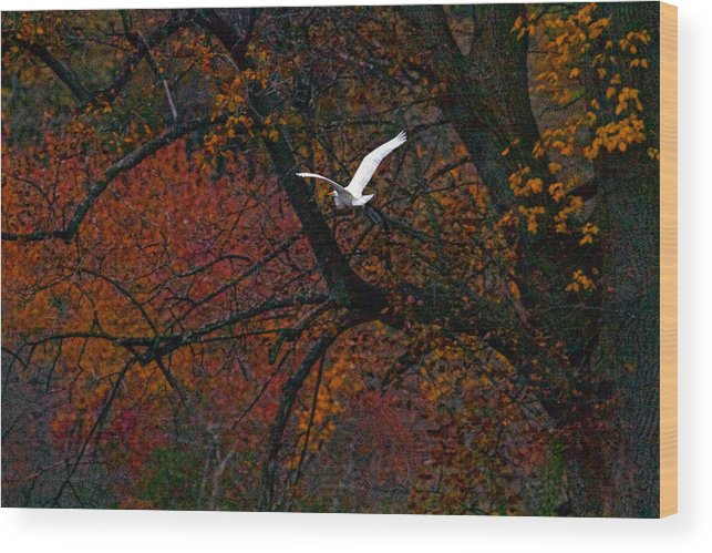 Bird In Flight Wood Print featuring the photograph Great White Egret - Autumn Flight by J Charles