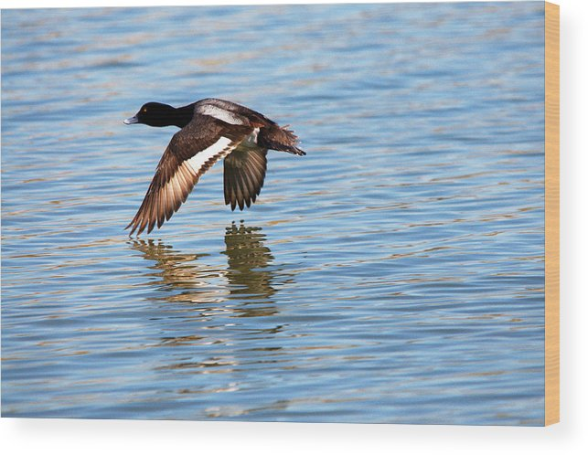 Duck Wood Print featuring the photograph Greater Scaup In Flight by Roy Williams