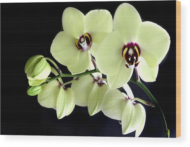 Phalaenopsis Wood Print featuring the photograph Green And Wine Hybrid Phalaenopsis Orchid by William Tanneberger