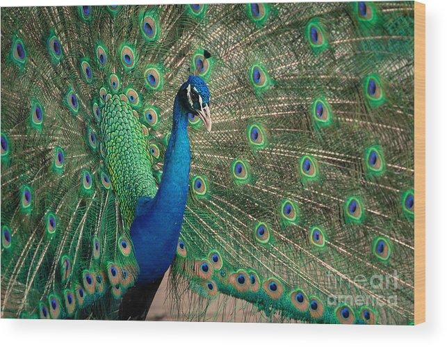 Animal Wood Print featuring the photograph Green Beautiful Peacock by Tosporn Preede