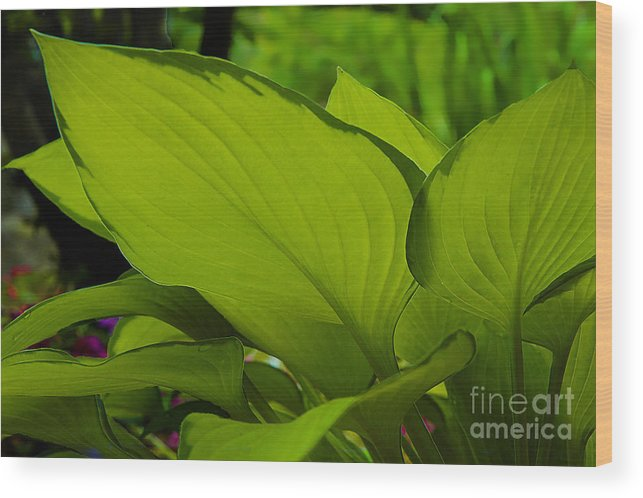 Leaves Wood Print featuring the photograph Green Giants by Herb Paynter