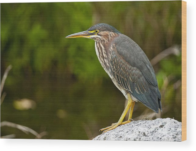 Green Heron Wood Print featuring the photograph Green Heron Pictures 378 by World Wildlife Photography