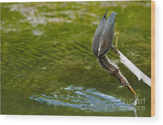 Green Heron Wood Print featuring the photograph Green Heron Pictures 414 by World Wildlife Photography