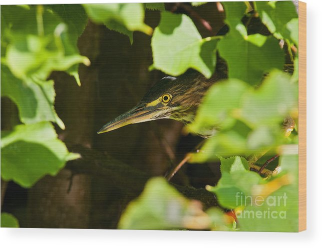 Green Heron Wood Print featuring the photograph Green Heron Pictures 430 by World Wildlife Photography