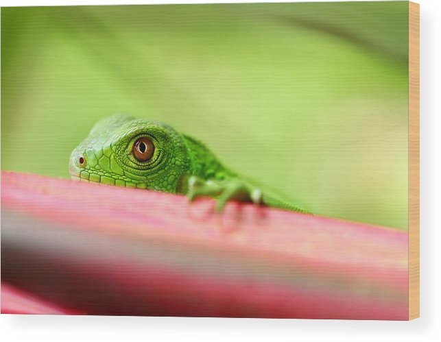 South America Wood Print featuring the photograph Green Iguana by Rainer Waelder