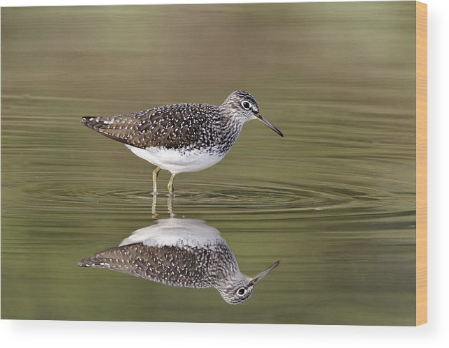 Bird Wood Print featuring the photograph Green Sandpiper by Mike Lane