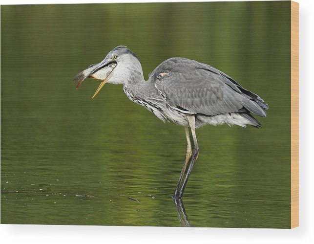 Bird Wood Print featuring the photograph Grey Heron by Mike Lane