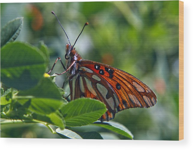 Gulf Fritillary Butterfly Wood Print featuring the photograph Gulf Fritillary Butterfly Close Up by Her Arts Desire