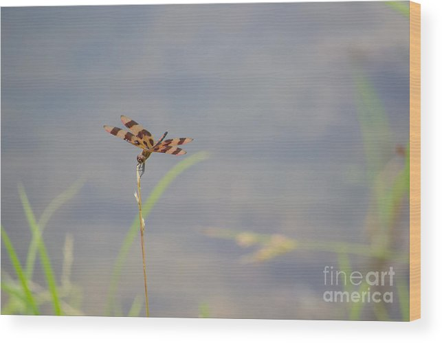 Halloween Wood Print featuring the photograph Halloween Pennant Dragonfly 2 by Scott Hervieux