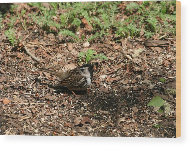 Harris Sparrow Wood Print featuring the photograph Harris Sparrow Collecting Seeds by Robert Hamm