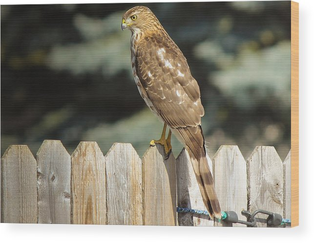 Digital Photography Hawk Nature Bird Landscape Fence Posters Prints Greeting Cards Wood Print featuring the mixed media Hawk1 by Connie Dye