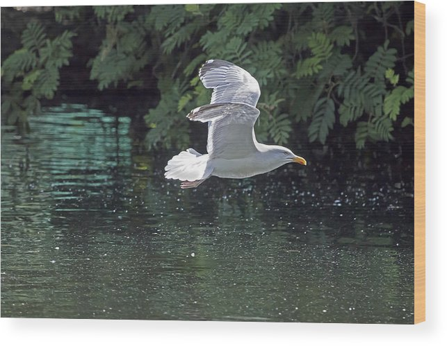 Gull Wood Print featuring the photograph Herring Gull by Les OGorman