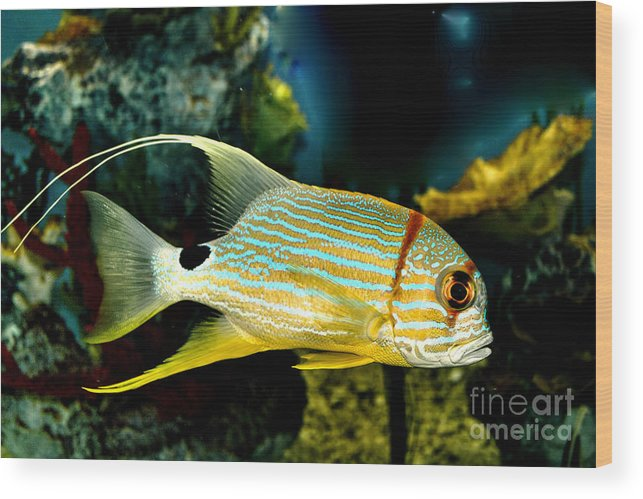 Fish Wood Print featuring the photograph Hi Fin Snapper by Steven Parker