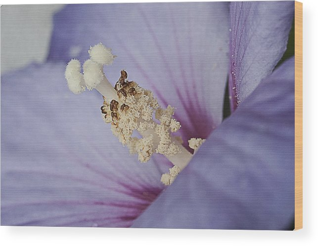 Hibiscus Flower Wood Print featuring the photograph Hibiscus Blue by Shirley Mitchell