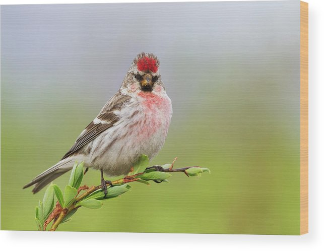 Alaska Wood Print featuring the photograph Hoary Redpoll by Ken Archer